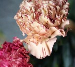 cropped-raspberry-ripple-carnations1.jpg